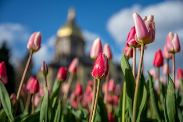 Tulips blooming on campus with dome in background